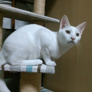 真っ白な美猫
