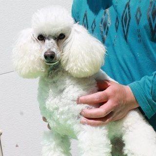 引退犬のトイプードルホワイト メス② 里親募集致します