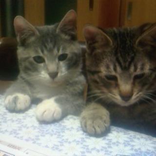 8ヵ月オスネコ♂2匹里親さんさがしています。