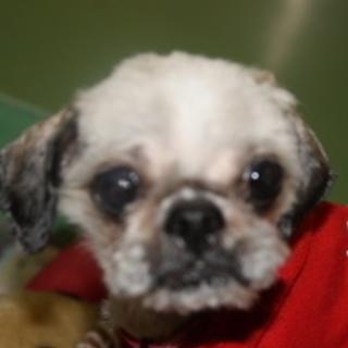 トライアルが決まりました 行政に収容中 シーズー高齢犬 初めて愛す...