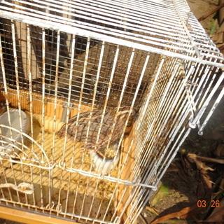 ウズラ(雄一羽)を飼育できる方へ無料で譲渡します