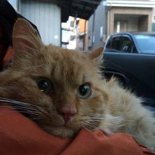 オレンジ猫 長毛種 オス ハンサム君です