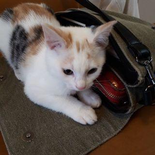 生後3ヶ月のメス猫三毛