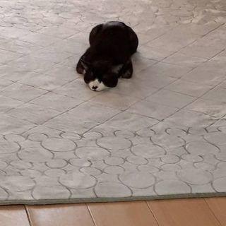 2歳半の白黒トラ猫