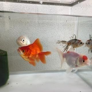 (里親さん決まりました)金魚の里親を探しています※急募※