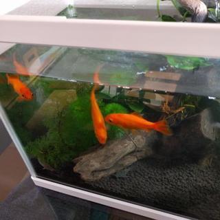 金魚3匹 どじょう1匹 取引中