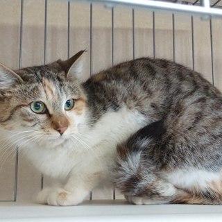 綺麗な三毛猫くびれちゃん♀1歳位 − 千葉県