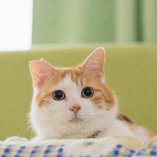 ふわふわ甘えん坊の茶白猫君 里親さん募集します!