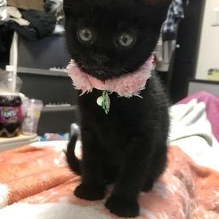 黒い子猫 オス