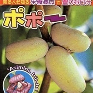 ポポー苗木     トロピカルフルーツ