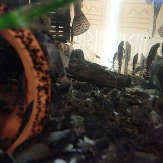 熱帯魚 ブッシープレコ稚魚と和金大
