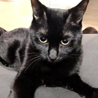 ツンデレな綺麗な顔立ちの黒猫