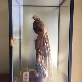 錦鶏鳥 剥製 ガラスケース入り