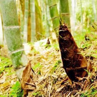 竹の子掘れる場所