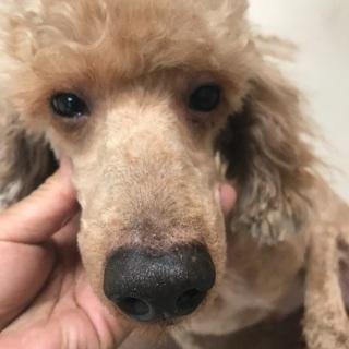 7歳ミディアムサイズのミニチュアプードル成犬