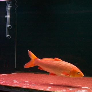 錦鯉 オレンジ系 赤松葉 40cm~45cm