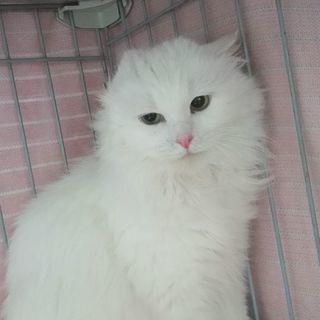 キレイな白い長毛さんⅡ