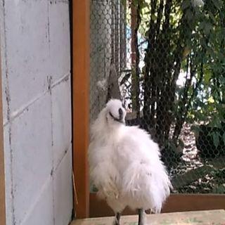白烏骨鶏の生後4ヶ月の雄1羽