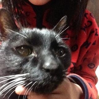 可愛い柔らかいおだやかな黒猫です。