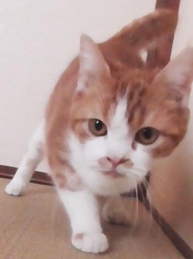 マンチカン足長の9ヶ月の男の子です。 (まつてつ) 松戸の猫の