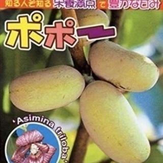 ② ポポー  苗木 2m  トロピカルフルーツ