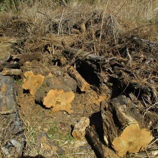 薪(アカシア) 1年乾燥物