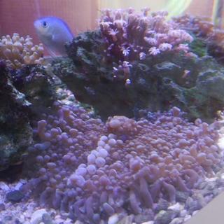 サンゴ バブルディスク 海水 最後の1個