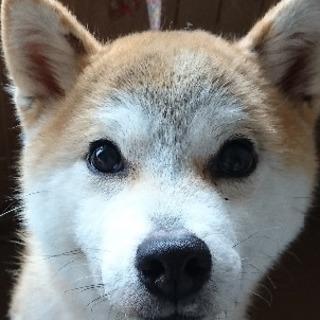 豆柴×柴犬  メス 2歳