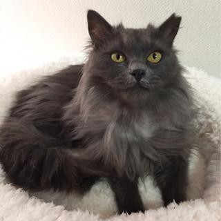 ゴミ屋敷からレスキューしたグレーの長毛猫メス ウグイスちゃん