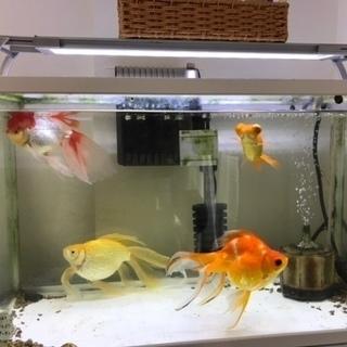 元気な金魚達を育てて頂けませんか?