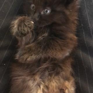 長毛黒猫赤ちゃん