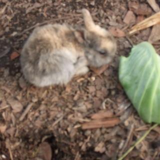 ネーザランド種の子ウサギです。育ててみませんか?
