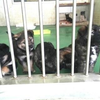 保健所収容!生後2か月位雑種の子犬6匹が助けを待っています!県外譲...