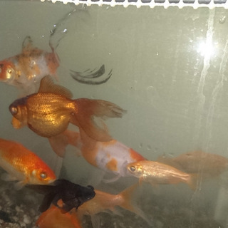 金魚たちの里親募集します