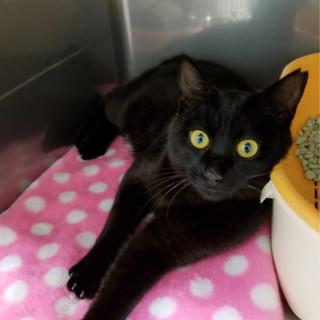 ウサギシッポのスリゴロ黒猫オス1歳 ばくねんくん