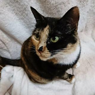 ファザコン猫♡ キレイなサビ三毛メス エルちゃん