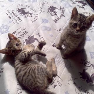 2か月の子猫兄弟貰ってください