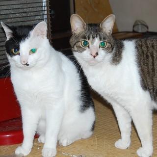 気のやさしい2歳の猫たちです。可愛がってくださる方、お願いします!