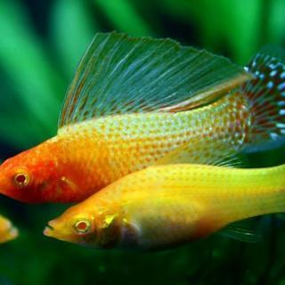 急募!熱帯魚 ゴールデンセルフィンモーリー