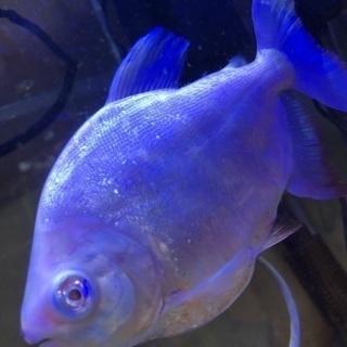 アルビノコロソマ5月中旬に熱帯魚屋へ持っていきます。