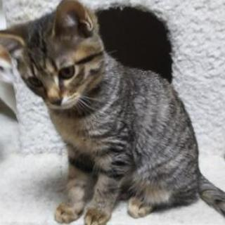 雑種 子猫 6ヵ月 同じ柄が2匹です。1匹ずつでも可能です