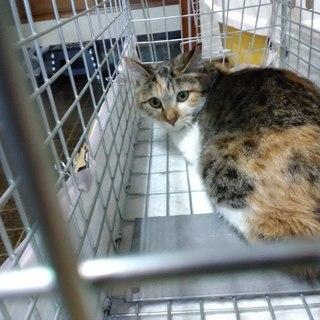 綺麗な三毛猫くびれちゃん♀1歳位 - 猫