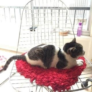 中野区 腎不全のザバトラ白の迷い猫を探してます。