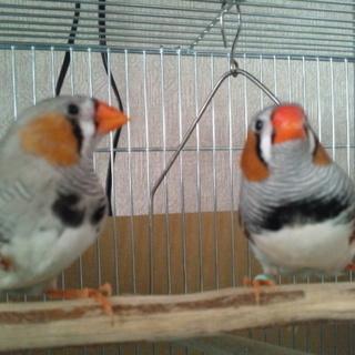 キンカチョウの若鳥 オス 2羽