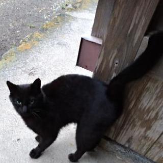 黒い猫オス