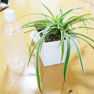 オリヅルラン 抜き苗 観葉植物    インテリア