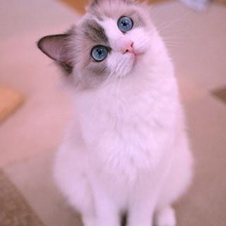 キャトラン☆猫ちゃんトリミングしています♪麻酔なし