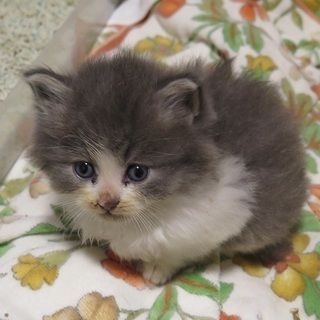 ふわふわモフモフの男の子です。生後1ヶ月