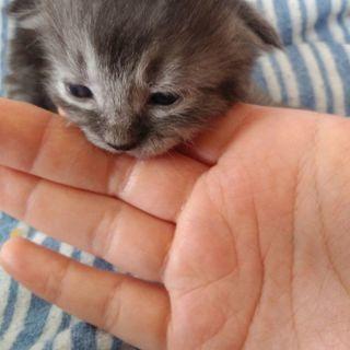 生後2週間の子猫