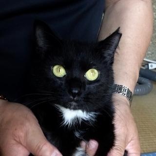 【決定しました】ありがとうございました! /黒猫タキシード男子(約1歳)
